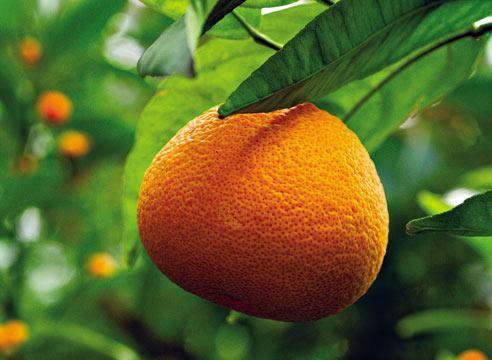 Мандарин, Citrus reticulata