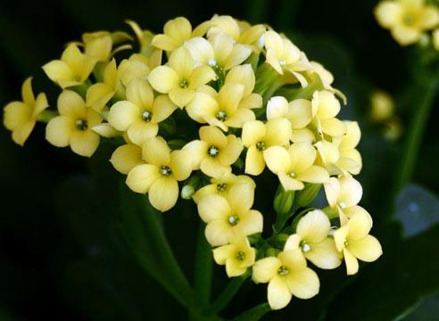 Каланхоэ, цветение, Kalanchoe