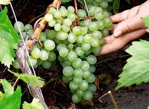 Сорта винограда, Виноград Краса Севера