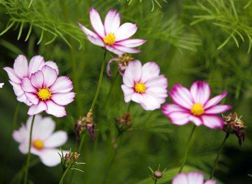 цветы космея картинки