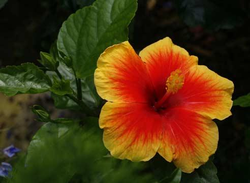Гибискус, китайская роза, Hibiscus rosa-sinensis Tivoli
