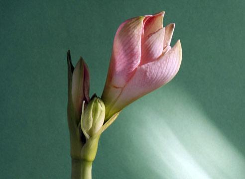 Гиппеаструм, цветок, Hippeastrum