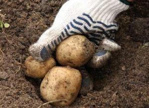 Картофель: как выбрать посадочный материал