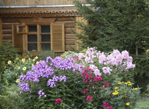 флоксы в саду фото оформление