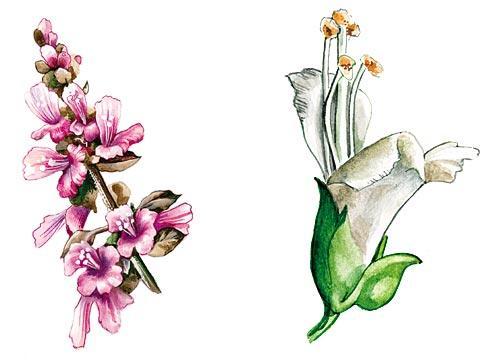 Фото цветок базилик