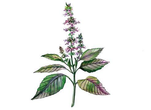Цветок базилик