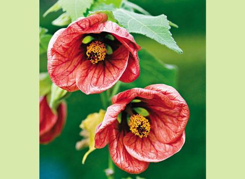 Хризантема корейская посадка и уход виды и сорта фото