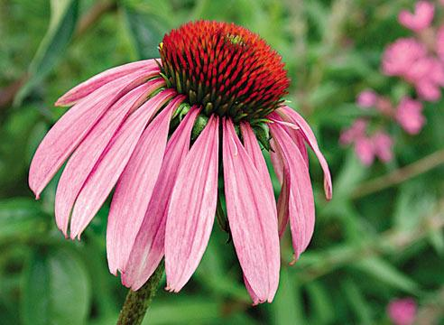 Как выглядит цветок эхинацея фото