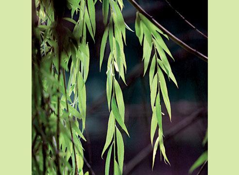 листья ивы от диабета сахарного