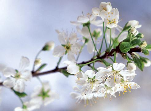 Почему слива цветет но не плодоносит