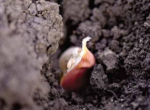 Посадка чеснока бульбочками осенью - выращивание