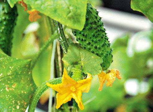 Огурец, цветы и завязи, Cucumis