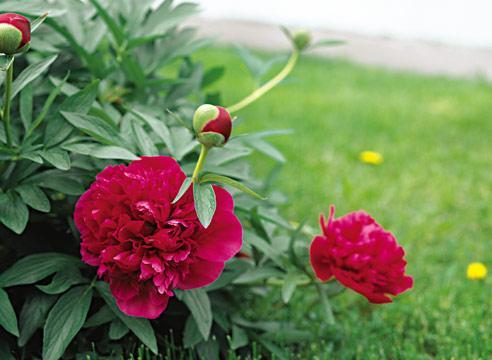 Пионы цветы уход и посадка