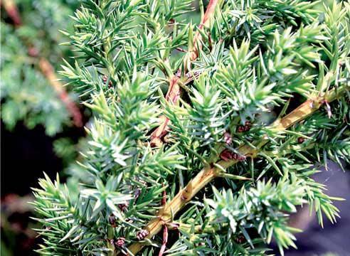 Можжевельник китайский Блю Алпс, Juniperus chinens Blue Alps