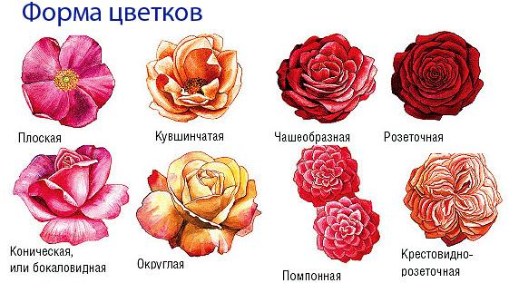 название и фото роз