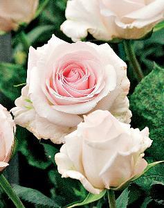Нежно розовая роза фото