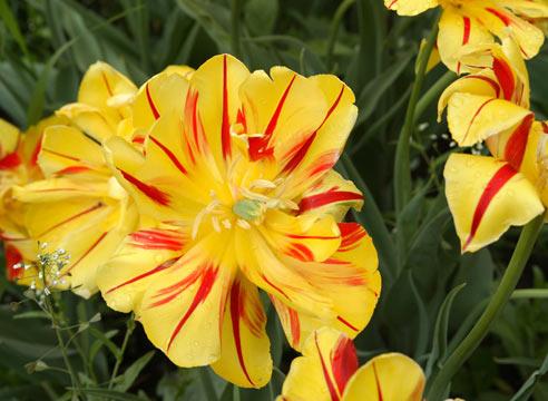 Махровый ранний тюльпан Monsella
