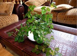 перекись водорода для полива комнатных растений