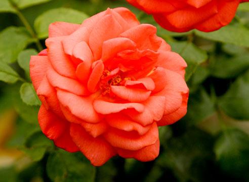 Что такое роза шраб и флорибунда