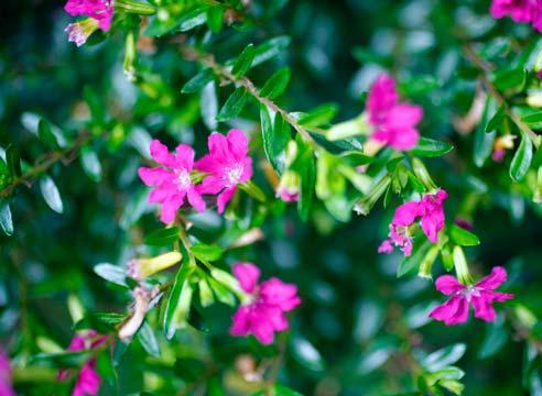 Комнатные цветы с розовыми листьями фото