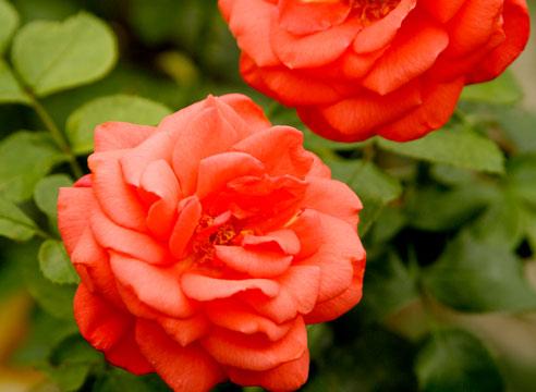Розы оранжевого цвета сорта