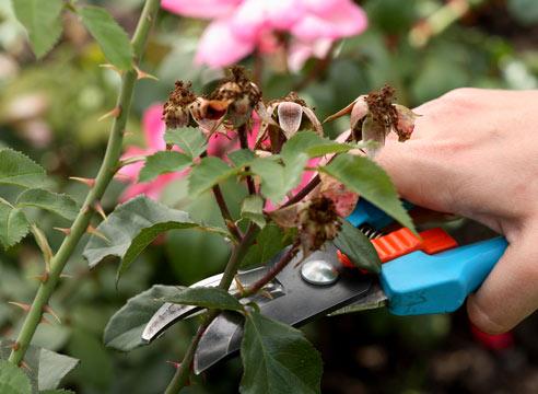 Слепые побеги у роз фото