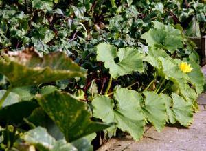 Выращиваем патиссоны