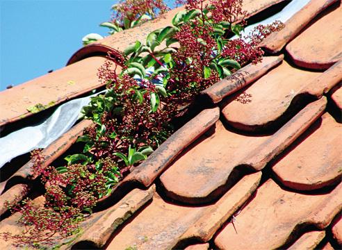 Крыша из керамической черепицы с ростком винограда