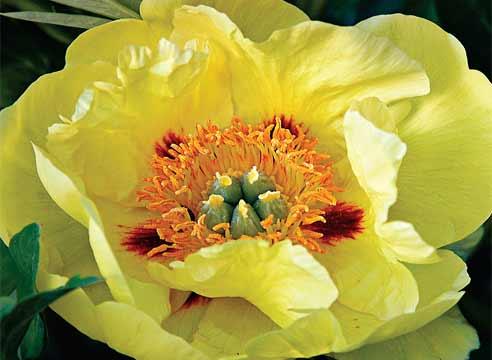 Древовидный пион жёлтый фото