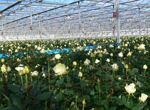 Розы технология выращивания 64