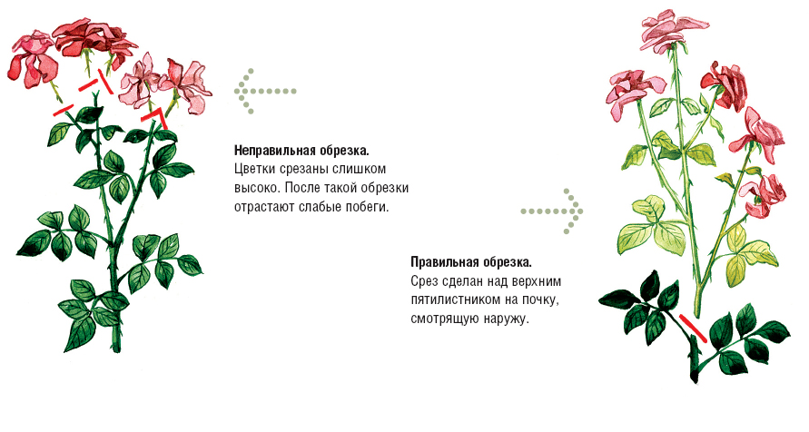 Картинки по запросÑ(2; Как сформировать красивые кÑ(2;сты роз
