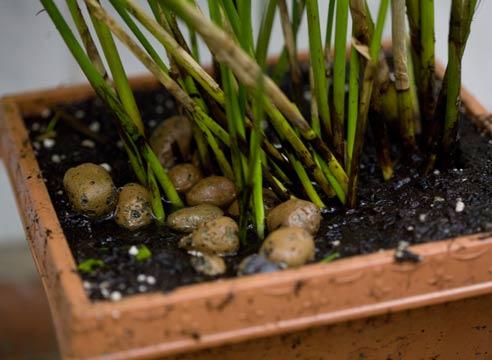 Циперус уход в домашних условиях размножение
