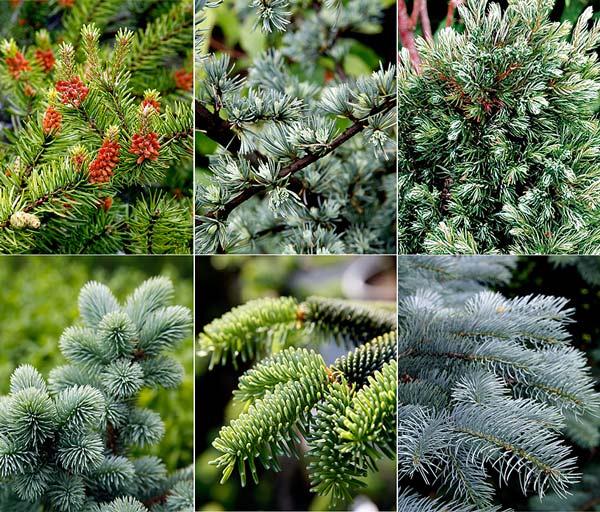 Хвойные растения названия и