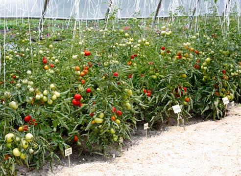 Как выращивать помидоры в теплице, секреты садоводов