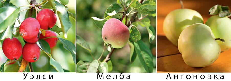 сорт яблок коричное полосатое фото
