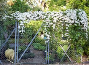 Чем прикрыть забор? Мелкоцветковые клематисы и княжики