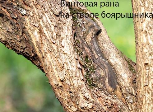 Винтовая рана на стволе дерева