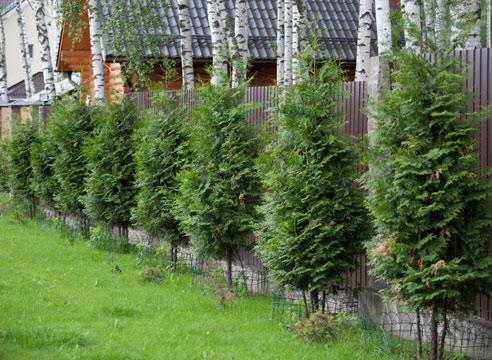 Сад в японском стиле. Хвойные растения