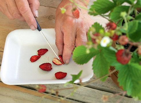 Как вырастить клубнику из семян в домашних условиях 100