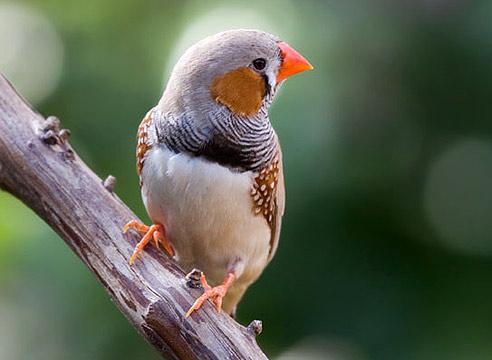 птичка амадина фото
