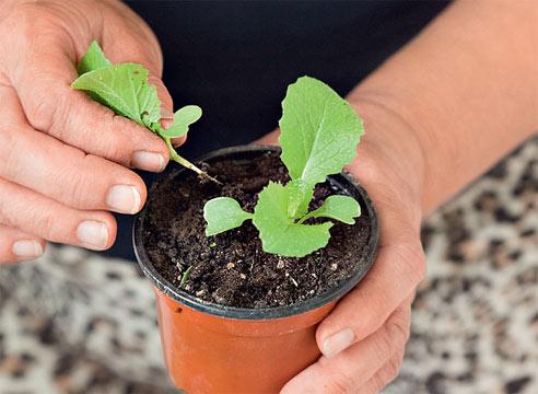 Как вырастить капусту пекинскую из семян в домашних условиях