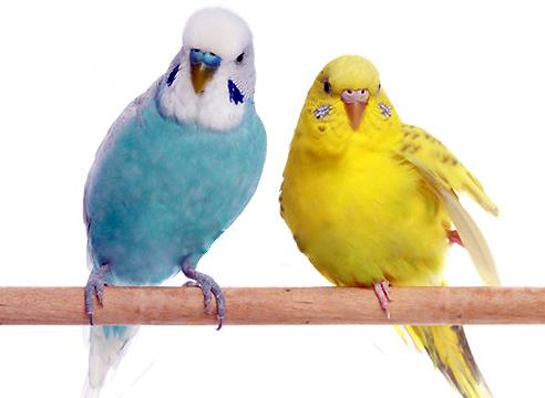 Когда научить волнистого попугая разговаривать в домашних условиях