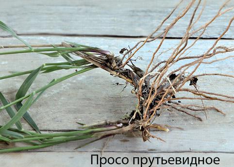 Луковичные клубневые и корневищные цветы и растения - фото и посадка