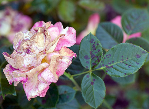 Розы вредители и болезни