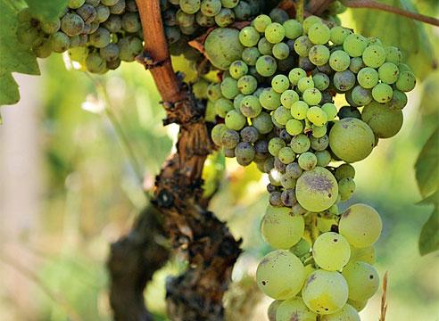 Что делать с мелким виноградом