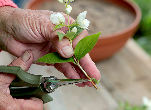 садовый жасмин, размножение черенками, черенок