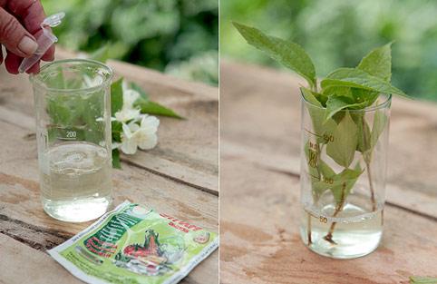 садовый жасмин, размножение черенками, замачивание черенков