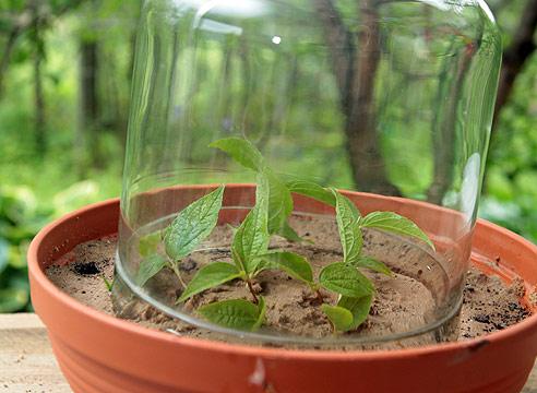 садовый жасмин, размножение черенками, укрытие черенков