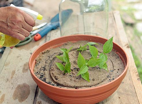 садовый жасмин, размножение черенками, опрыскивание черенков