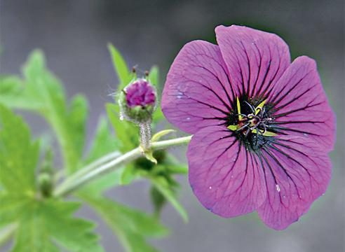 Види і сорти садових герані: що посадити у себе на дачі?